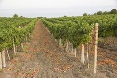 Gronowy dorośnięcie rozgałęzia się z winogronami Zdjęcie Royalty Free