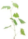 gronowy drzewo Zdjęcia Stock