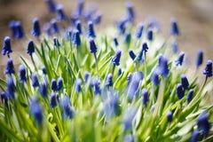Gronowy hiacynt, dekoracyjny Muscari kwitnie przy wiosna czasem Obrazy Stock