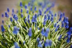 Gronowy hiacynt, dekoracyjny Muscari kwitnie przy wiosna czasem Zdjęcie Royalty Free