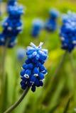 Gronowy hiacynt, muscari - kwitnąć wiosnę kwitnie w ogródzie, Zdjęcie Stock