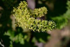 Gronowy kwiat Obraz Stock