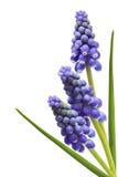 gronowy kwiatu hiacynt trzy Zdjęcia Royalty Free