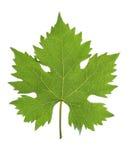 gronowy liść Zdjęcie Stock