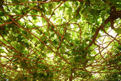 Gronowy liść jako tło Obrazy Stock
