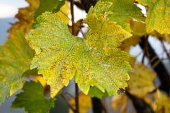 Gronowy liścia zakończenie up w jesieni w Włochy obraz royalty free