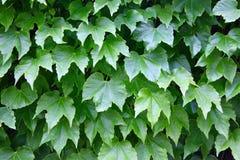 Gronowy liścia ogrodzenie Obrazy Royalty Free