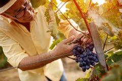 Gronowy żniwa vintner na winnicy Zdjęcie Royalty Free