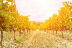 Gronowy żniwo przy zmierzchem - Tuscany Obraz Royalty Free