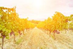 Gronowy żniwo przy zmierzchem - Tuscany Zdjęcia Stock