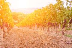 Gronowy żniwo przy zmierzchem - Tuscany Zdjęcia Royalty Free