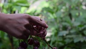Gronowy owoc domu wina przerób usuwa owoc od trzonu z nagimi rękami zdjęcie wideo