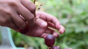 Gronowy owoc domu wina przerób usuwa owoc od trzonu z nagimi rękami zbiory wideo