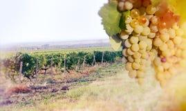 Gronowy Riesling wina winogrono na winorośli Obrazy Stock