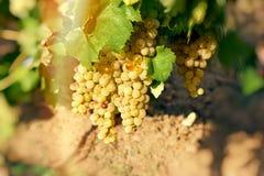 Gronowy Riesling wina winogrono na winorośli w winnicy Fotografia Royalty Free