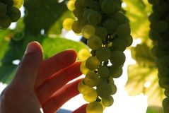gronowy ręki dotyka wino Obraz Stock