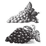 Gronowy wektorowy loga projekta szablon winorośl lub royalty ilustracja