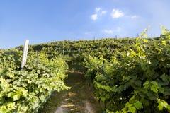 Gronowy wino ziemi wsi krajobrazu tło wzgórza z halnym tłem w Włochy Obraz Royalty Free