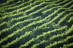 Gronowy wino ziemi wsi krajobrazu tło wzgórza z halnym tłem w Włochy Fotografia Royalty Free