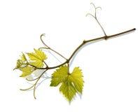 gronowy winograd Obrazy Royalty Free