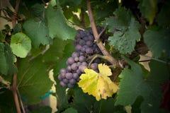 Gronowy winograd Obraz Royalty Free