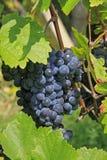 Gronowy winograd Zdjęcie Stock