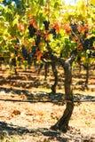 gronowy winograd Zdjęcia Stock