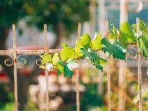 Gronowy winograd blisko domu w Montenegro Bałkany Adriatycki S Obraz Stock