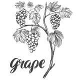 Gronowy winograd, winogrono, kaligrafia teksta ręki rysujący wektorowy ilustracyjny realistyczny nakreślenie Fotografia Royalty Free