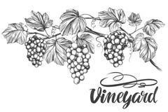 Gronowy winograd, winogrono, kaligrafia teksta ręki rysujący wektorowy ilustracyjny realistyczny nakreślenie Obraz Stock
