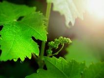 Gronowy winograd z potomstwami opuszcza kwitnienie na gronowym winogradzie w winnicy i pączkuje zdjęcie royalty free