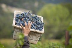 Gronowy zbieracza przewożenia pudełko winogrona Obraz Stock
