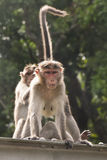 Groom 2 индийский обезьян социально стоковое фото rf