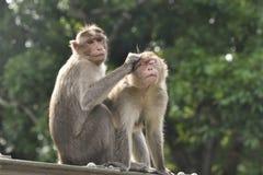 Groom 2 индийский обезьян социально стоковые изображения rf