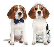 Groom and bride (beagle dogs) stock photos