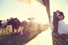 Groom and bride kissing near cow farm Royalty Free Stock Images