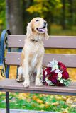 Groom Cocker Spaniel looking for a bride with a bouquet of red roses. 2019 stock images