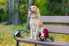 Groom Cocker Spaniel looking for a bride with a bouquet of red roses. 2019 royalty free stock images