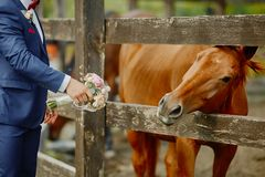 The groom, holding a wedding bouquet in hand, and a horse, who reached out to the bouquets to smell and eat.Funny wedding moment.  royalty free stock image