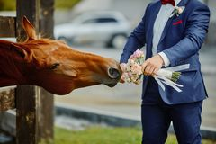 The groom, holding a wedding bouquet in hand, and a horse, who reached out to the bouquets to smell and eat.Funny wedding moment.  stock photography