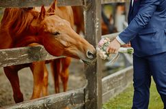 The groom, holding a wedding bouquet in hand, and a horse, who reached out to the bouquets to smell and eat.Funny wedding moment.  royalty free stock images