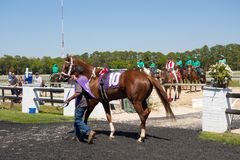 A young racehorse being walked before a race at tampa Royalty Free Stock Photo