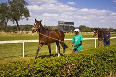 Groom with a racehorse. Race Horse being walked by the groom man late in the day for exercise around the training tracks at the Jockey Club, Nairobi Racecourse Royalty Free Stock Photography