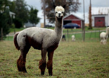 Groomed alpaca Stock Images