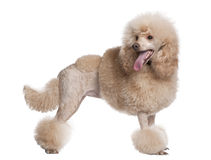 Groomed apricot poodle (2 years old) Stock Photography