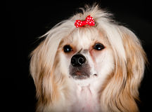 Groomed Chinese Crested Dog Stock Images