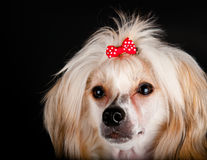Groomed Chinese Crested Dog Royalty Free Stock Image