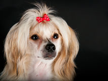 Groomed Chinese Crested Dog Stock Photography