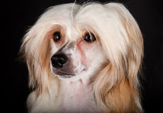 Groomed Chinese Crested Dog Stock Image
