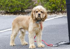 Groomed Cocker Spaniel dog with blue collar and tag. Male neutered groomed buff Cocker Spaniel dog with blue collar and tag on red leash. Outdoor animal adoption Stock Photo